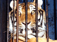 0056 No escape from the circus for wild animals despite ban